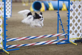 canine agility course